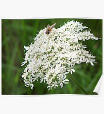 Hoverfly on white flowers Poster
