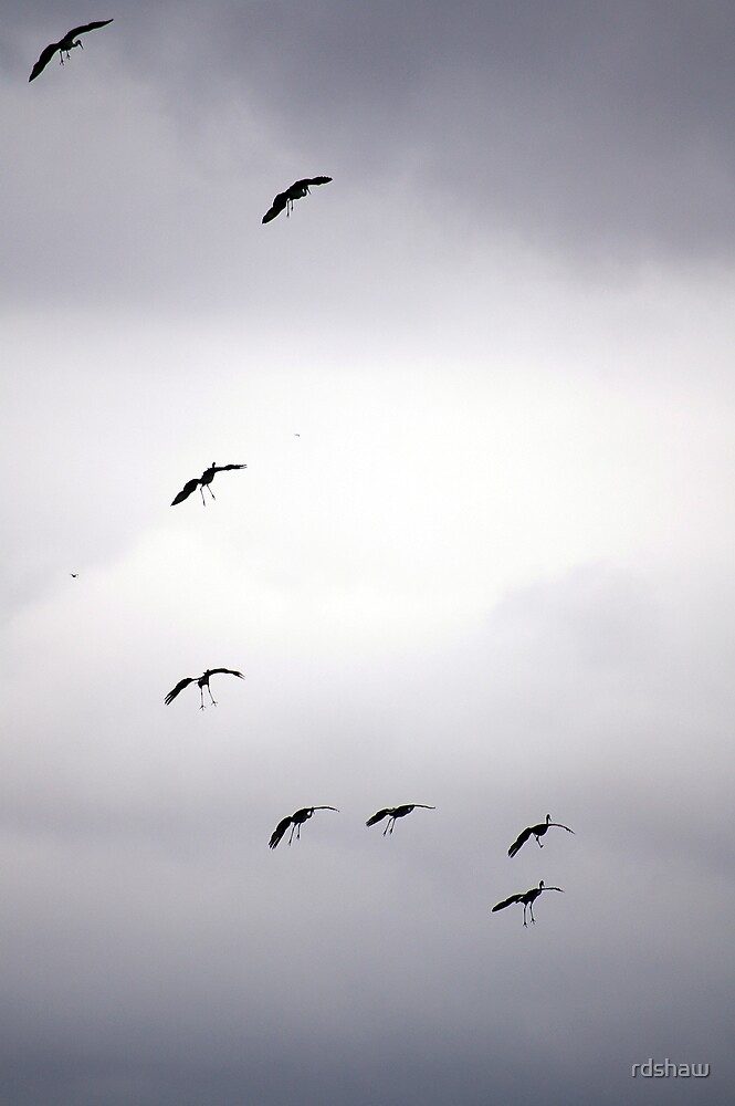 Cranes Flying 13 by rdshaw