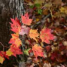 Red Maple in Foliage by Wayne King