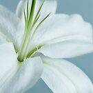 white lily by BlancaJP