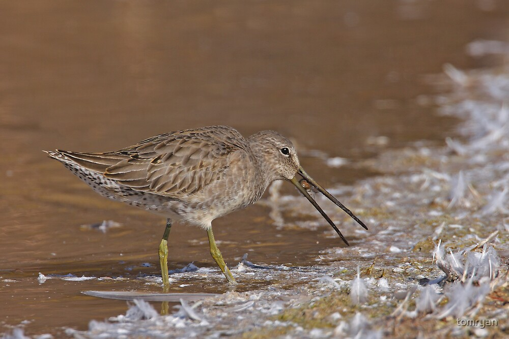 Long-billed Dowitcher by tomryan