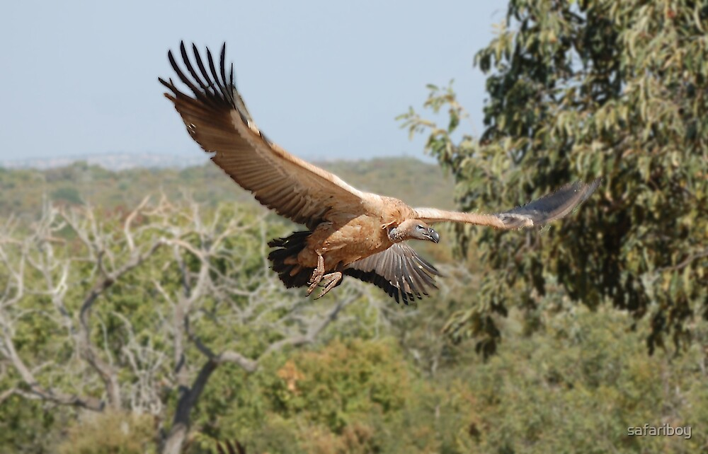 Vulture inflight by safariboy