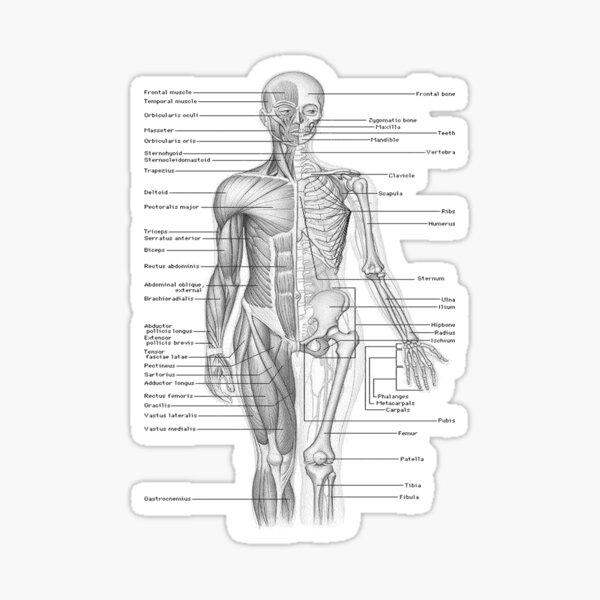 Human Anatomy Sticker