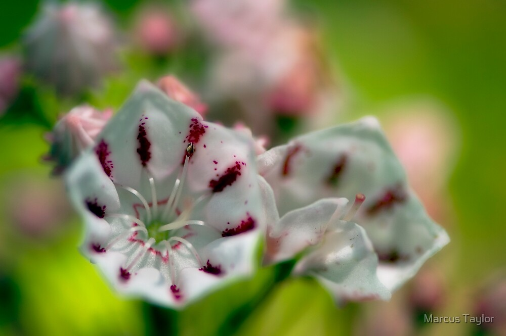 Mountain Laurel Blooms by Marcus Taylor
