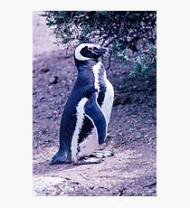 Magellanic Penguin in Peninsula Valdes - Argentina Photographic Print