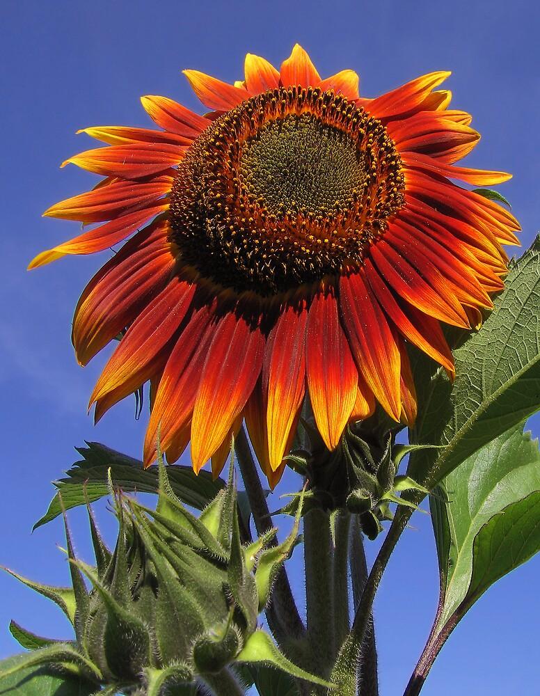 Sunflower by Gary Pope