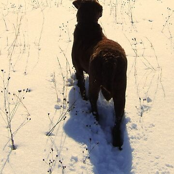 Chesapeake Bay Retriever by SaMack