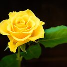 Yellow Rose by 7horses