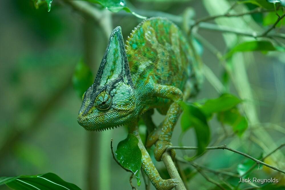 Veiled Chameleon by Jack Reynolds