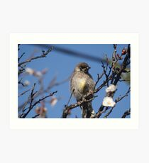 Juvenile Red Wattle Bird Art Print