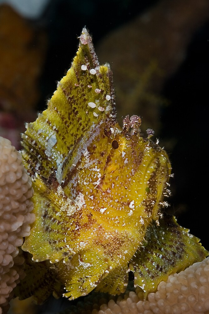 Leaf Scorpionfish by Ross Gudgeon