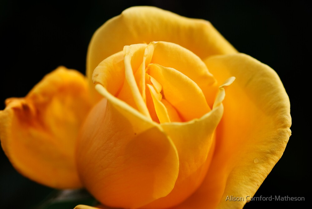Yellow Rose - Villandry by Alison Cornford-Matheson