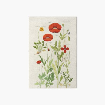Botanical illustration: Poppy by David Dietrich – State Library Victoria Art Board Print