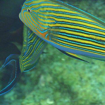 Blue lined surgeonfish by presbi