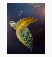 Turtle descending. Photographic Print