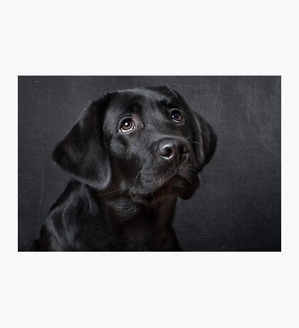 Labrador pup Photographic Print