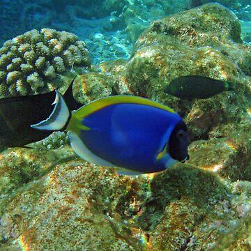 Powderblue surgeonfish &  semicircle angelfish by presbi