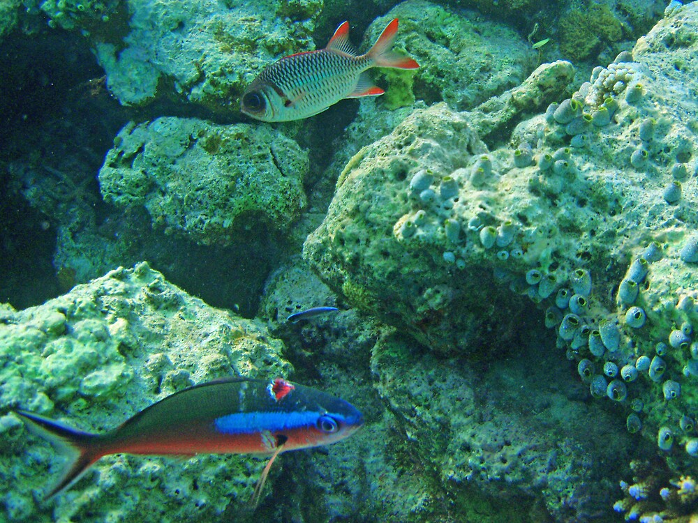 Banana fusilier and soldierfish by presbi