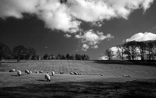 Black Sheep? by AA Fer