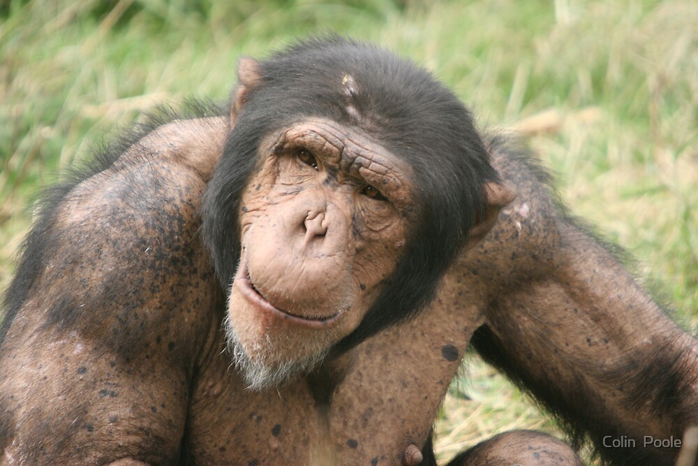 Monkey In Deep Concentration by Colin  Poole