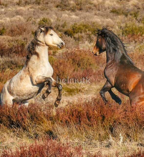 Brumby Stallions of the High Country  by helmutk