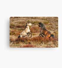Brumby Stallions of the High Country  Canvas Print