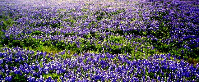 State Flower of Texas by DottieDees