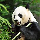 Panda at the National Zoo, Washington D.C. by Bine
