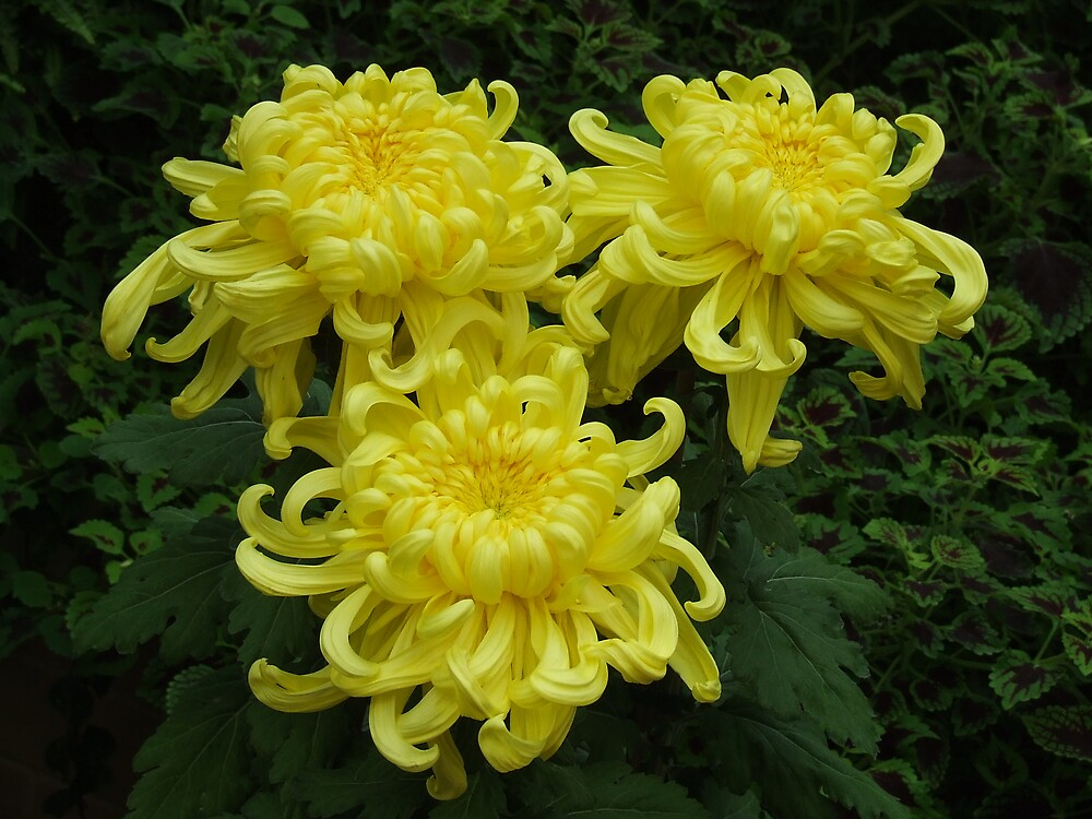 Japanese Mums by scottymm