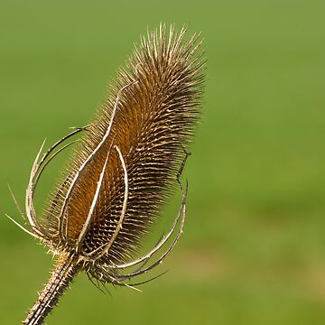 Dried Thistle. by Fergyphotos