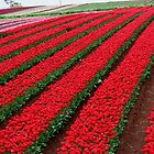 Rows and Rows of Tulips by imaginethis