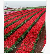 Rows and Rows of Tulips Poster