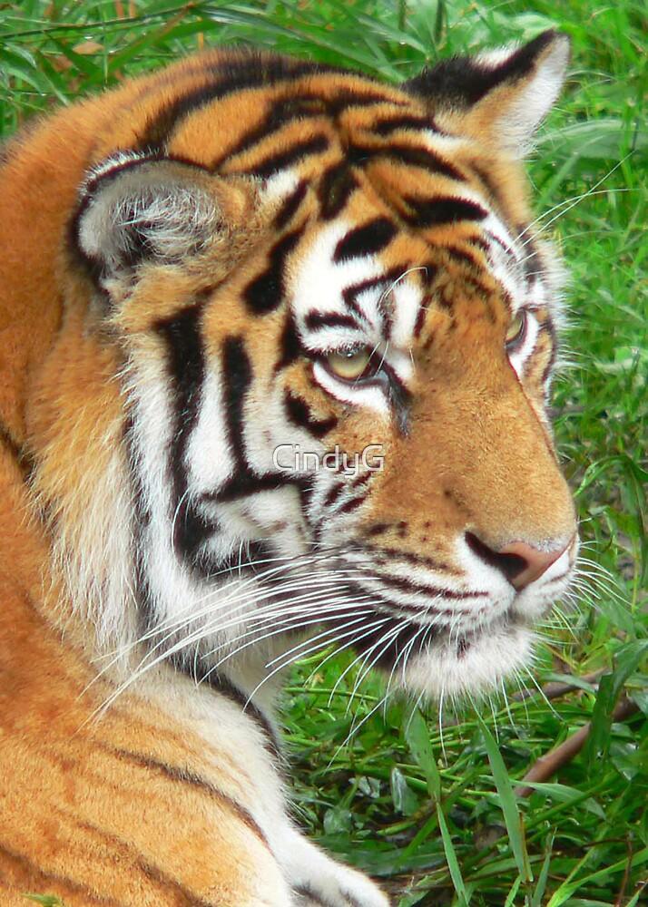 Tiger by CindyG