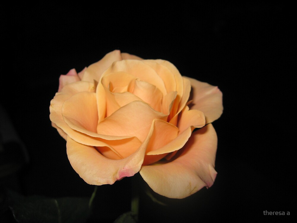 A PALE ORANGE ROSE by theresa a
