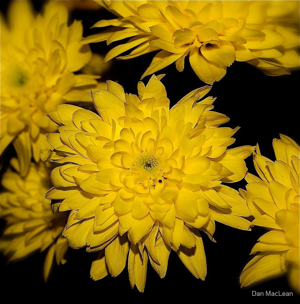 yellow flowers by Dan MacLean