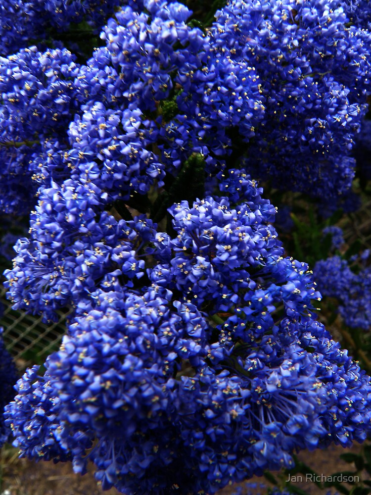 Quot Ceanothus Blue Pacific Quot By Jan Richardson Redbubble