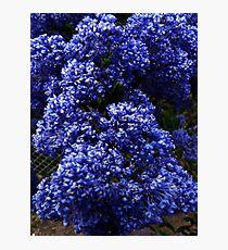 Ceanothus 'Blue Pacific' Photographic Print
