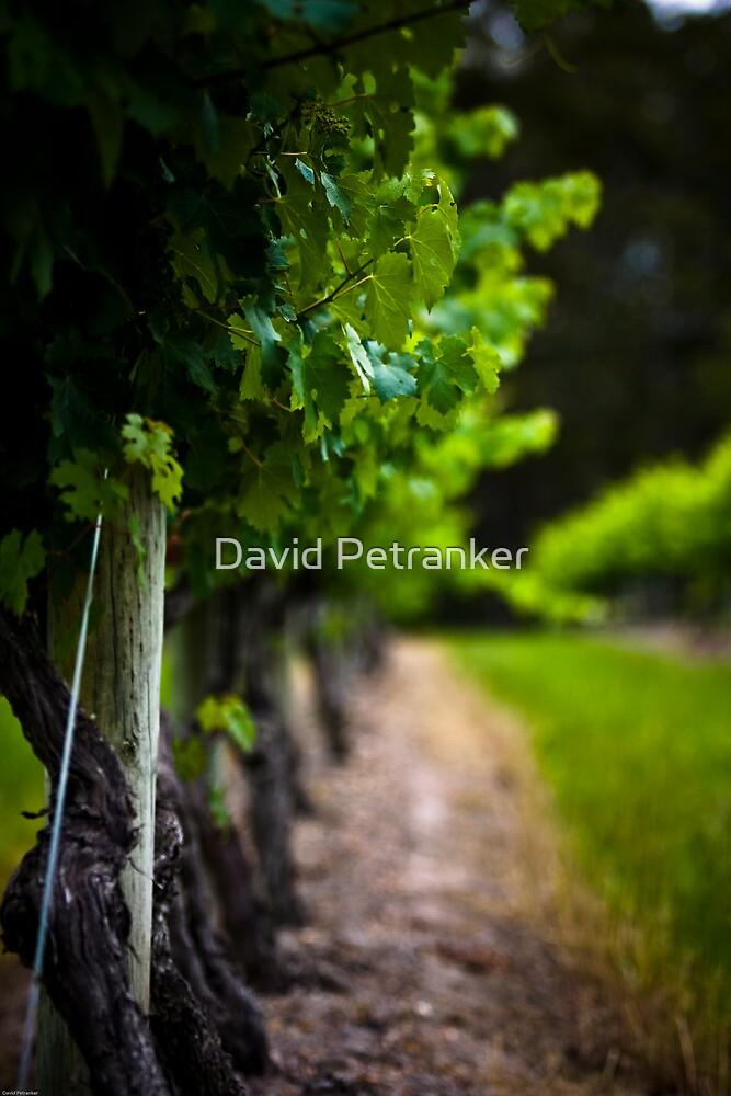 The Grape Vine by David Petranker