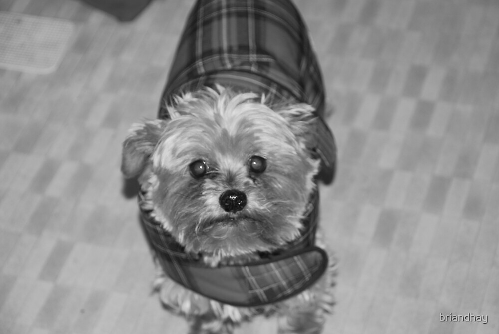 black and white yorkie by briandhay
