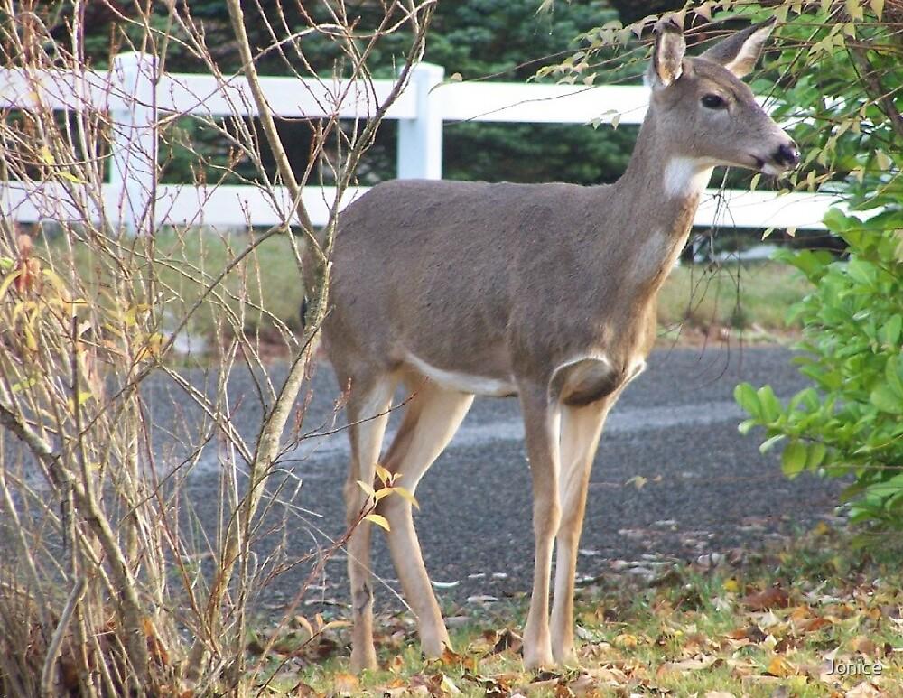 Doe Deer In Our Yard by Jonice