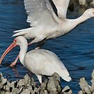 IBIS PARTY by TJ Baccari Photography
