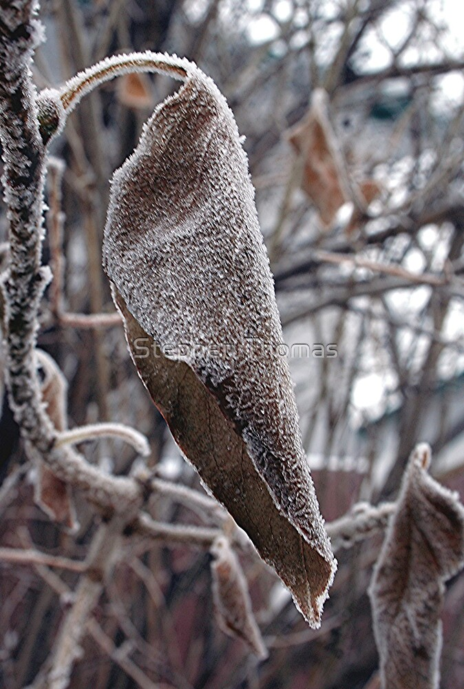 Frosty Lilac Leaf by Stephen Thomas
