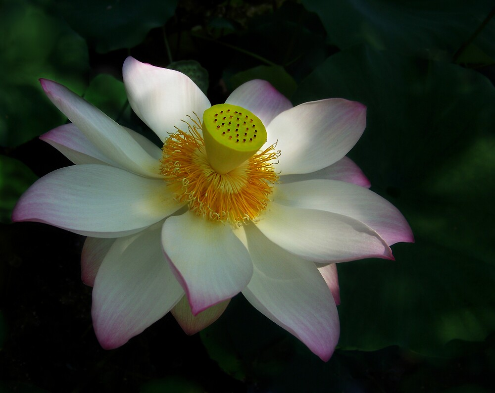 American Lotus by Marylee Pope