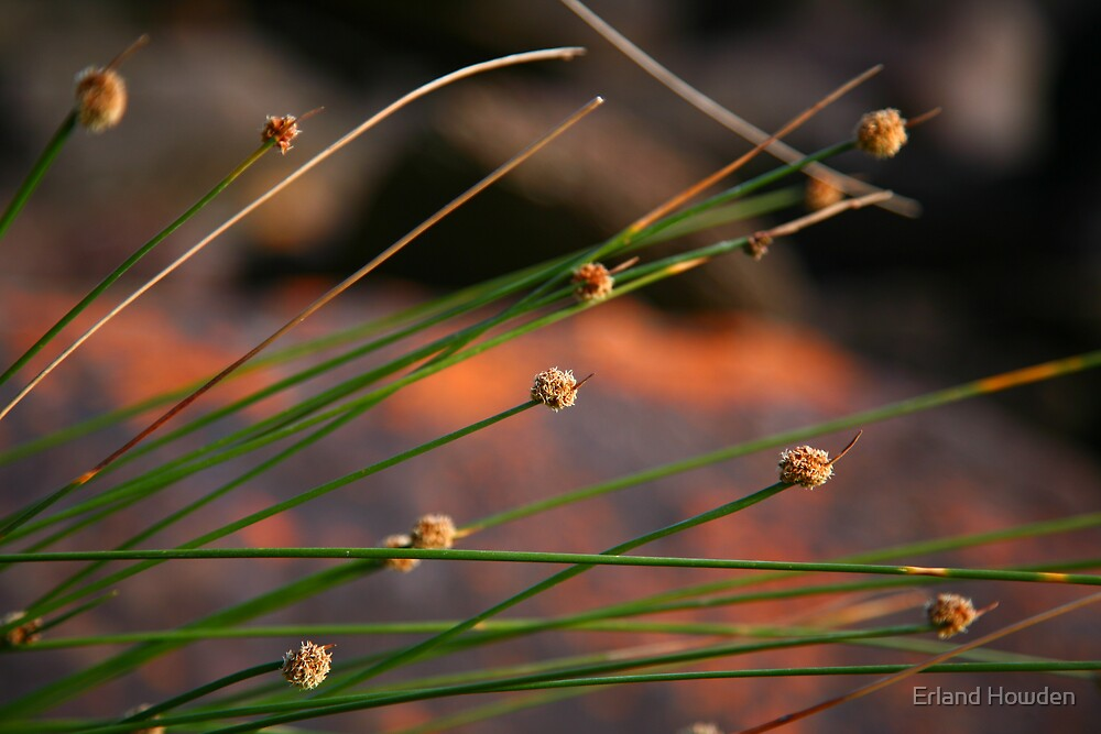 Native Grass, Copacabana by Erland Howden