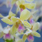 Orchids... by Cvail73