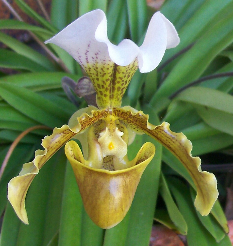 Slipper Orchid by kaye1941