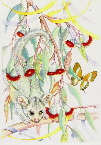 Possum and Streamers by Pete Morris