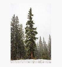 Evergreens in the Snow Photographic Print