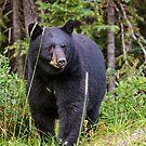 Brown Bear in Jasper by Chris  Randall