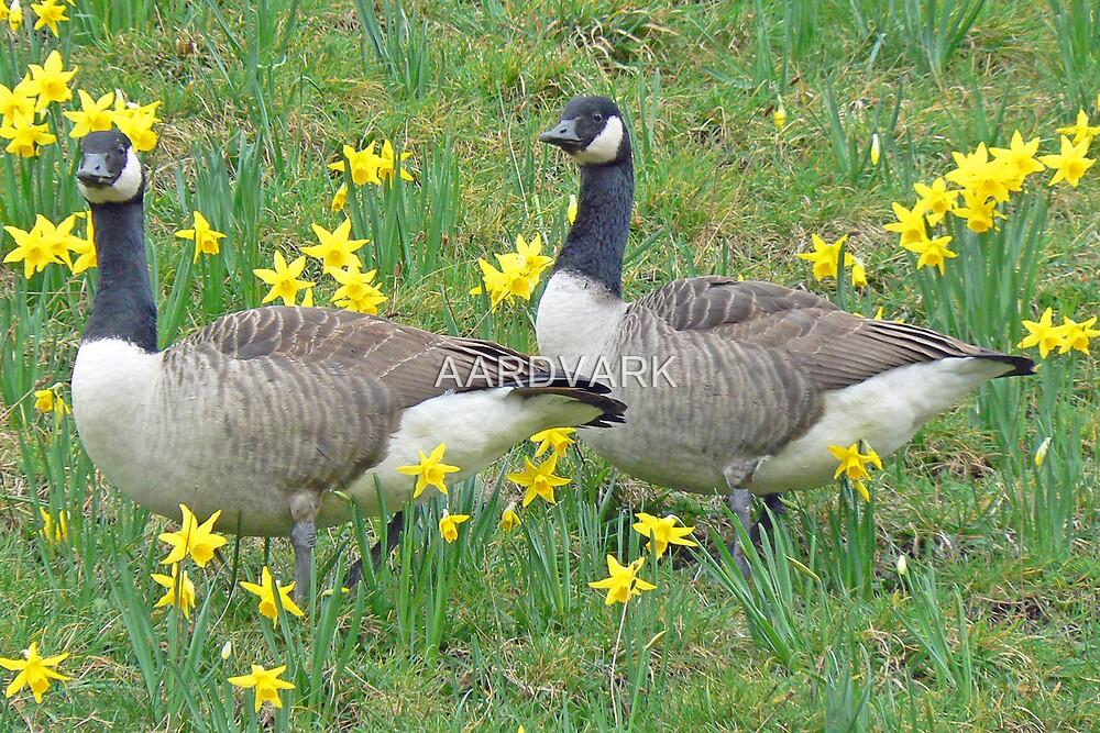 Canada Geese by AARDVARK